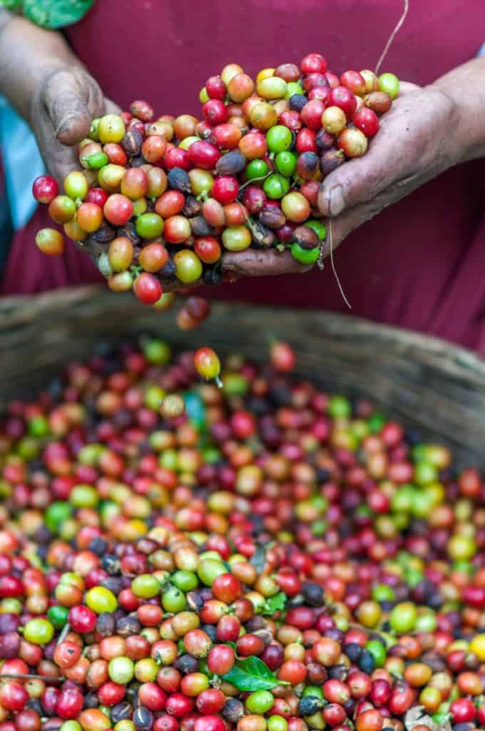 panama coffee farm